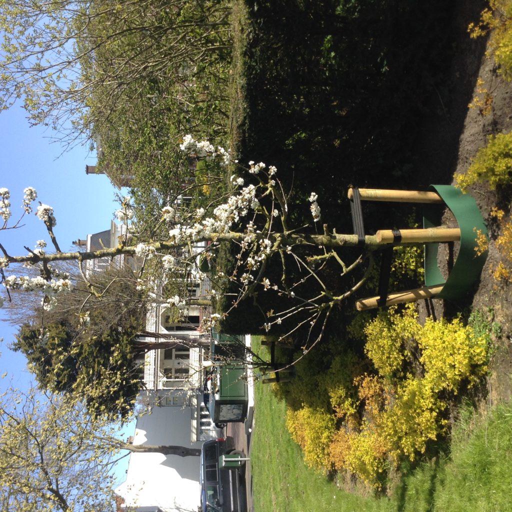 Fruitboom in bloei op het Belgische Plein